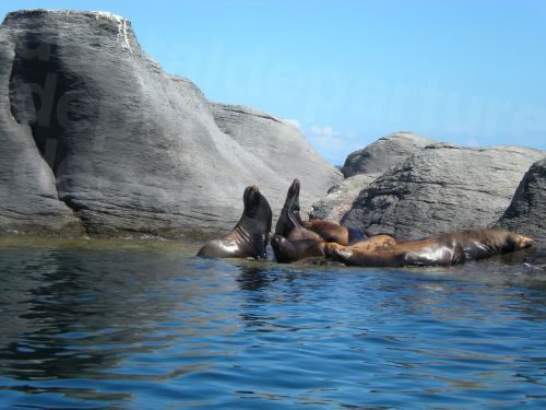 Sea Lions, Coronado, Baja California Sur