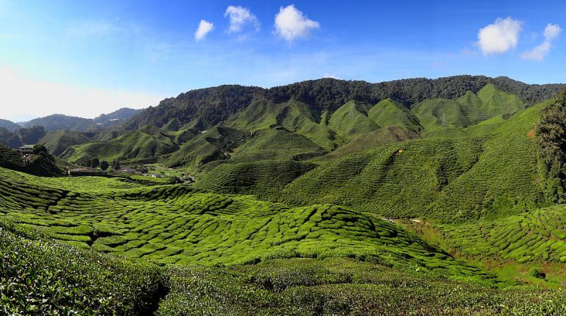 1200px-Cameron_Highlands_Tea_Plantation_2012
