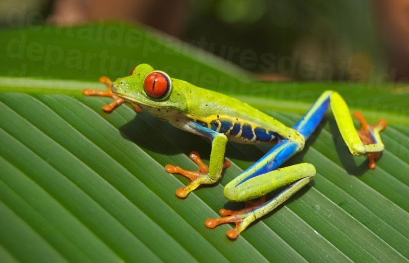 dd_201704190935_costa_rica_tree_frog_dp.jpg
