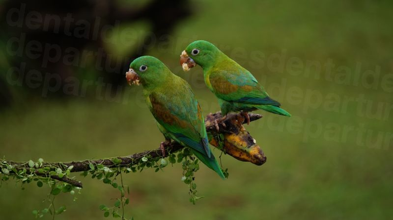 dd_201712120225_orange-chinned-parrots-1586951.jpg