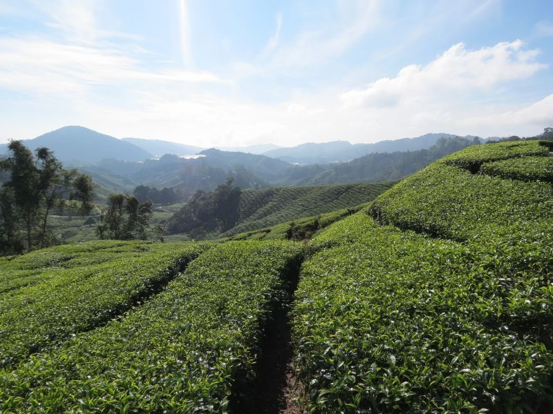 dd_201712222208_tea-plantation-2713275_1920.jpg