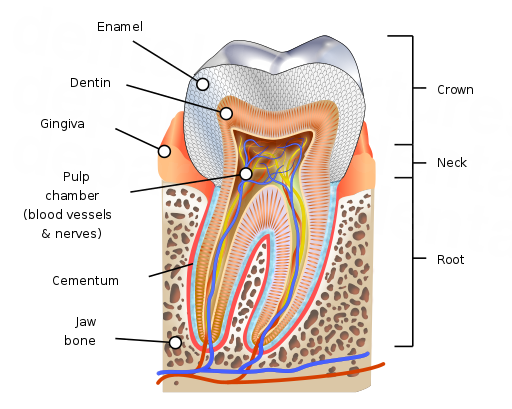 dd_201804291419_root_canal_kds444_wiki.png